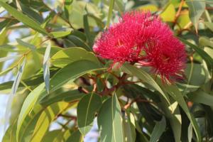 el-eucalipto-y-su-eficacia-como-descongestivo-natural